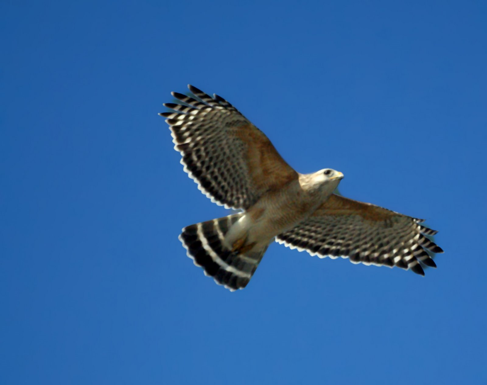 Hawk Messages Amp The Path Of Listening Naturalwealthjournal