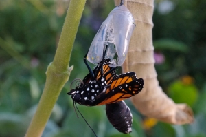 monarch-emerging-from-chrysalis2